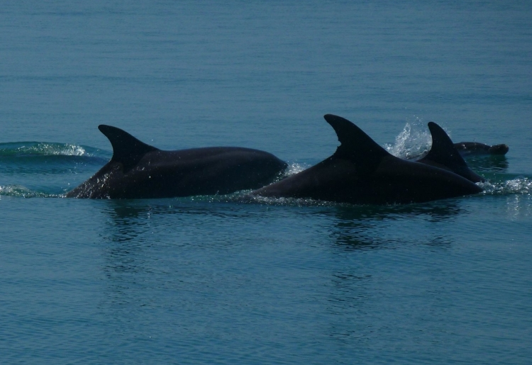 Dolphins spotted with Lead Boat Dessa